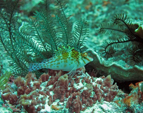 Hawkfish - Raja