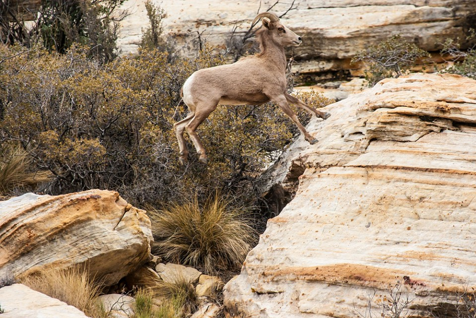 Desert Big Horn Sheep – Red Rock Canyon - Red Rock Canyon National Conservation Area
