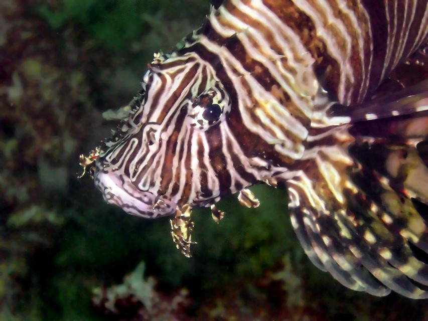 Lionfish (rework by rgdaniel) - Richelieu Rock
