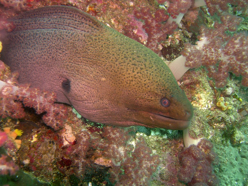 Moray eel - Richelieu Rock