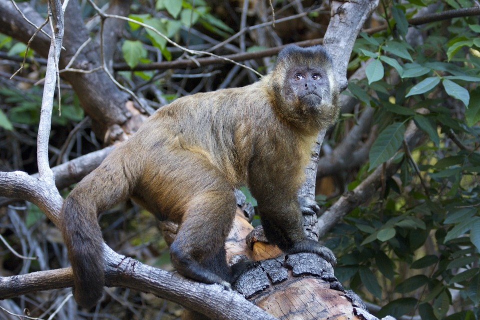 Looking up - Capuchin monkey / Macaco-prego - Serra da Capivara National Park