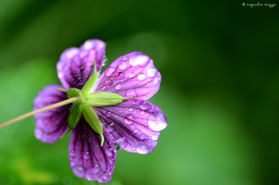 Geranium - Valley of Flowers National Park