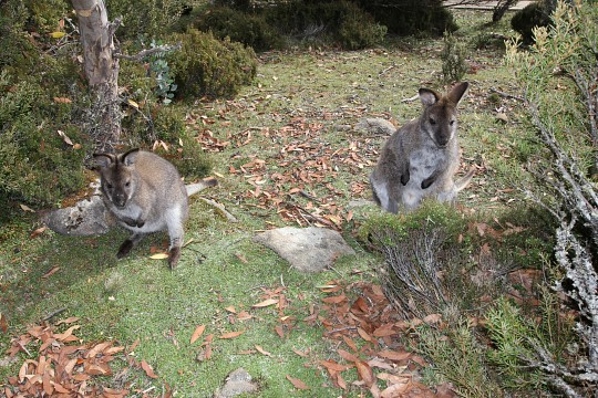 Red-necked (Bennetts)
