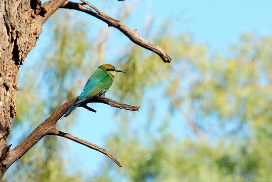 Rainbow Bee-eater - West