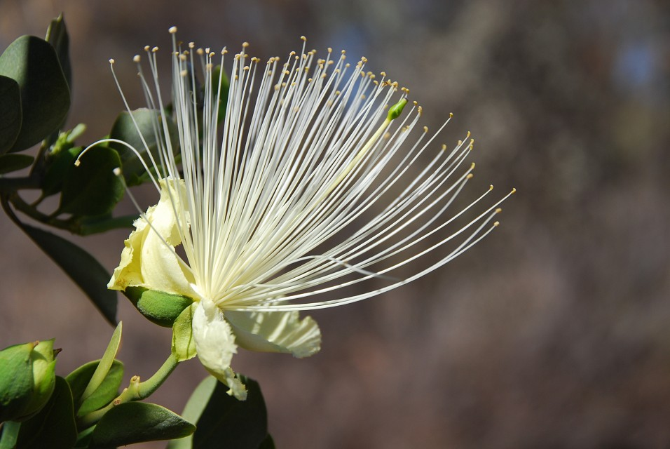 Desert flower - West MacDonnell National Park